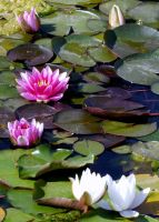 Water Lilies II by PamplemousseCeil