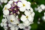 white and purple close up by bad8luck