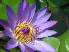 Water Lily v3 by Sulimeth