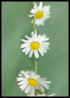 Daisy Chain by CrazeeAce