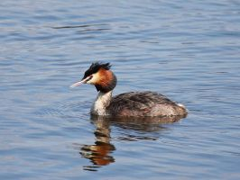 Great Crested Grebe by fraughtuk