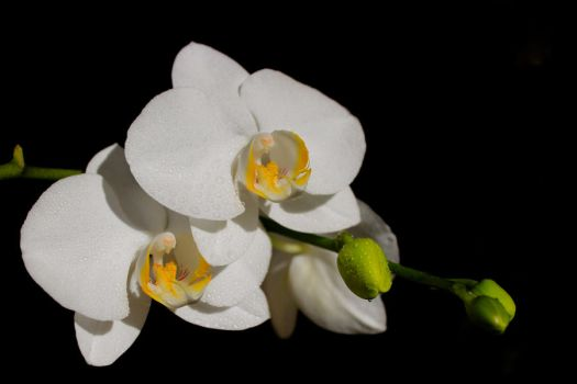 White Orchid by PaleRiders