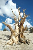 Ancient Bristlecome Pines by Rayroze