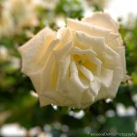 White rose II by FrancescaDelfino