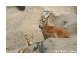 Mountain goat by cescrow