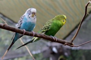 Parakeets by Serendipity222