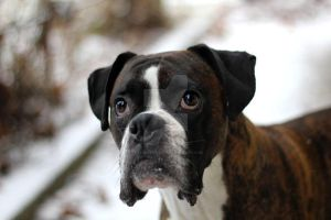 Beautiful Boxer by FeatheredPhoto