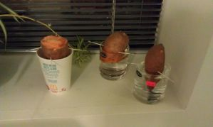 Sweet potatoes - Day 1 by foxhead128