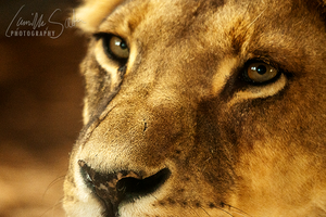 lioness by ceileur