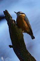 Eurasian nuthatch by PhotoDragonBird