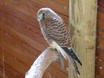 Bird 134 - sweet kestrel by Momotte2stocks