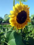 I bee a sunflower by TheEndlessFeed