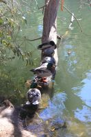 00186 - Ducks and Turtles on Tree by emstock