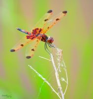 Dragonfly Series (Calico Pennant) by sioranth