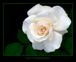 WHITE ROSE 5 7 11 by THOM-B-FOTO