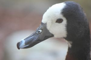 Brown, black, and White Duck 2 by fizzynerd