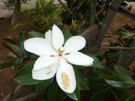 Bloom of the Magnolia by BlackFlameVampire