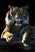 cheeky tiger by scoot75