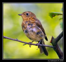 Juvenile Robin by andy-j-s