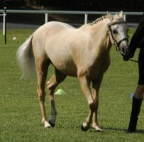 Palomino-riding-pony-40 by tbg-stock-images