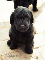 Labradoodle by Sarawi