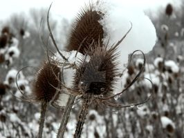 Thistles in the snow by CorvusCorone93