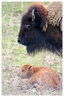 Buffalo Newborn 3 by UffdaGreg