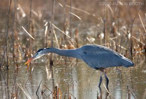 Great Blue Heron by austinboothphoto