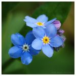 Forget-Me-Not by Natalieb78