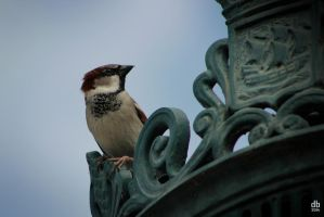 Another sparrow from Paris by Didier-Bernard