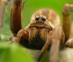 Wolf spider portrait by geckogr