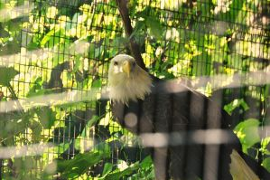 American Eagal by lijinbo78