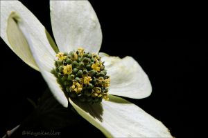 flowers within a flower by kayaksailor