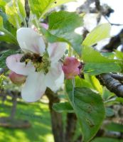 Bee on a apple bloom by Ranae490