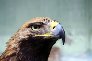the Eagle by Sologub