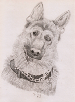 German Shepherd by Liraelwolf