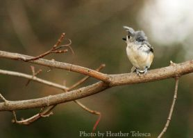 Cold Titmouse by HeatherTelesca