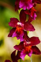 Orchid flowers 24 by a6-k