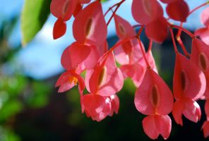 Tree begonia 1 by dpt56
