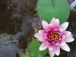 my water lilly in flower by bbart49