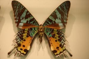 Butterfly Stock 26 (private use) by Malleni-Stock