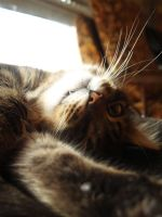 francouzz cat by patecroute