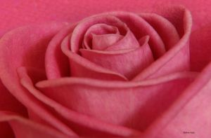 Mothers Day Rose 45 by Deb-e-ann