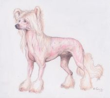 Chinese crested by G0URE