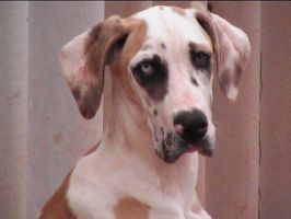 Great Dane Mellie again maybe by Delia67