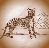 Thylacine in the zoo by jennarotancrede