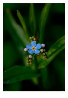 forget me not... by discodan