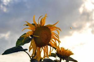 giant sunflower by tomsumartin