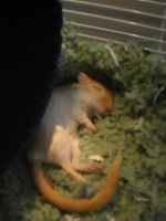 This is my gerbil, Lucy by WhiteBlueWerecat
