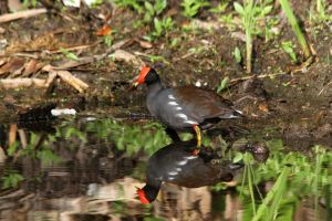 Dominican Gallinule (Moorhen) by olearysfunphotos